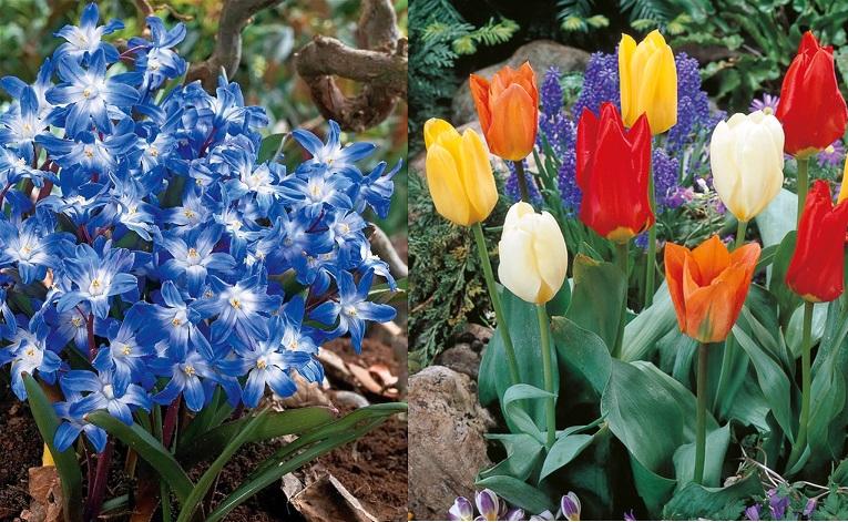 Distribution gratuite de bulbes de tulipes et de gloire des neiges - Paris 4 et 18ème (75)