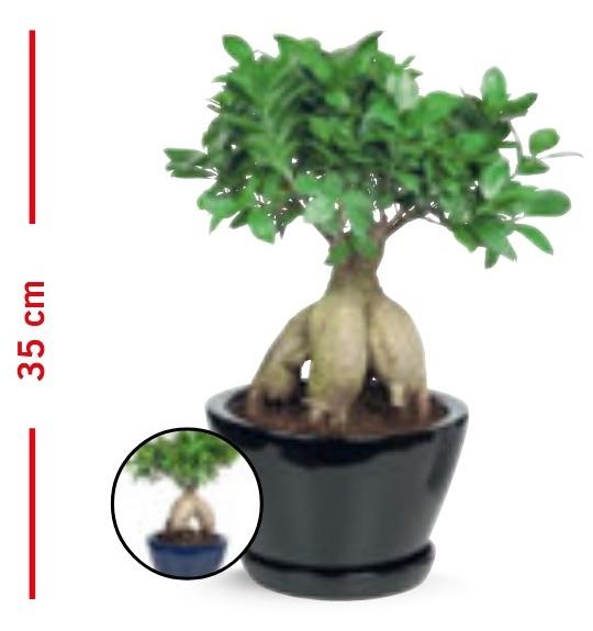 Bonsai Ficus Ginseng en Pot Céramique