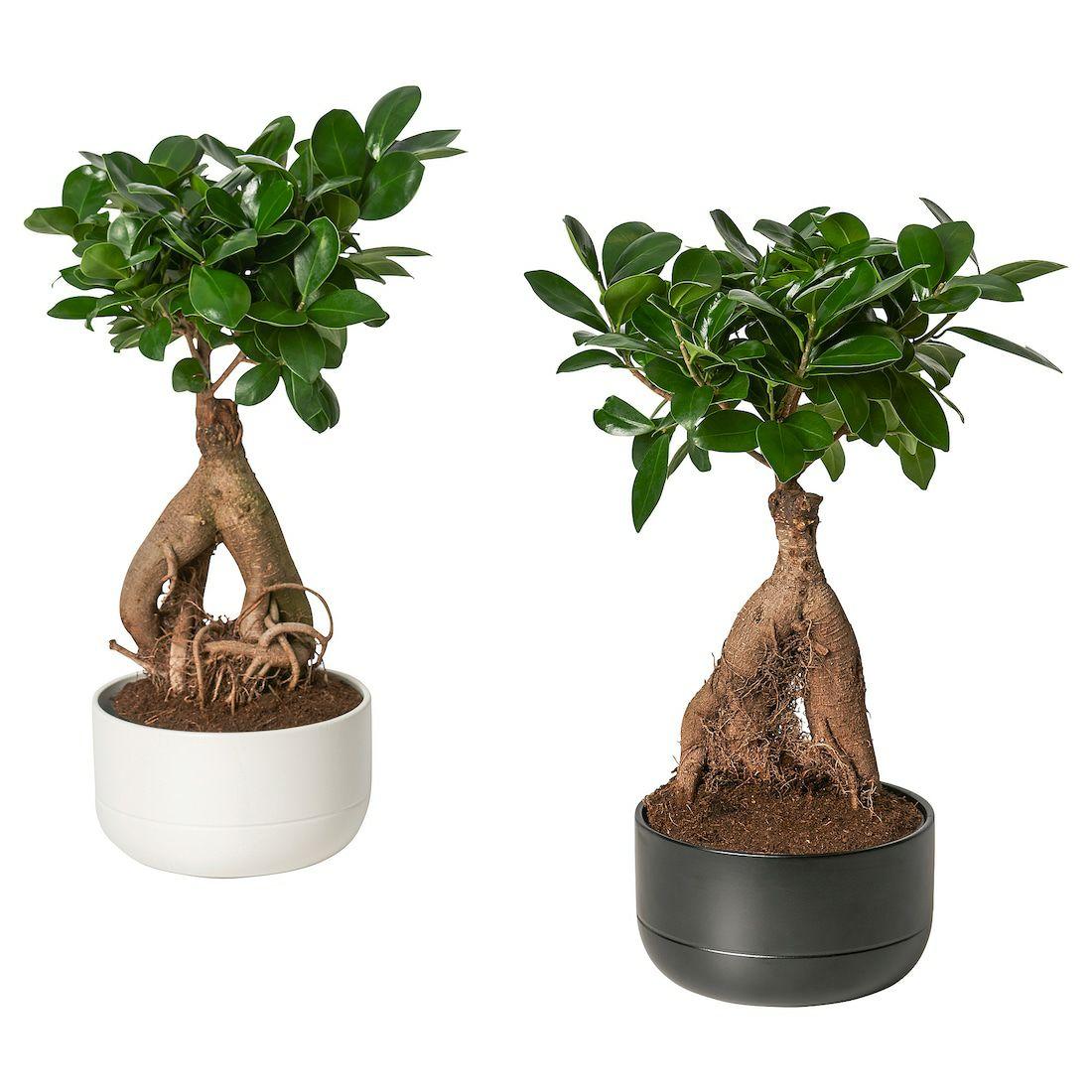 Plante Ficus GINSENG de 14 cm - Caen (14)
