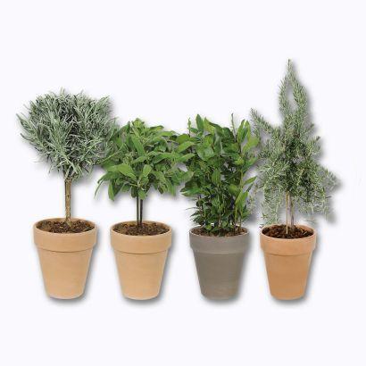 Plante aromatique sur tige - Variétés assorties 35-40 cm