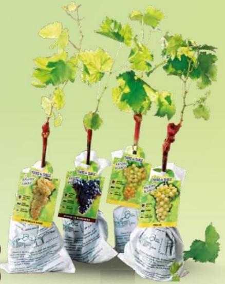 Pied de vigne cultivé en France, Variété au choix : Chasselas Blanc, Muscat de Hambourg ou Italia - Hauteur 30 cm minimum