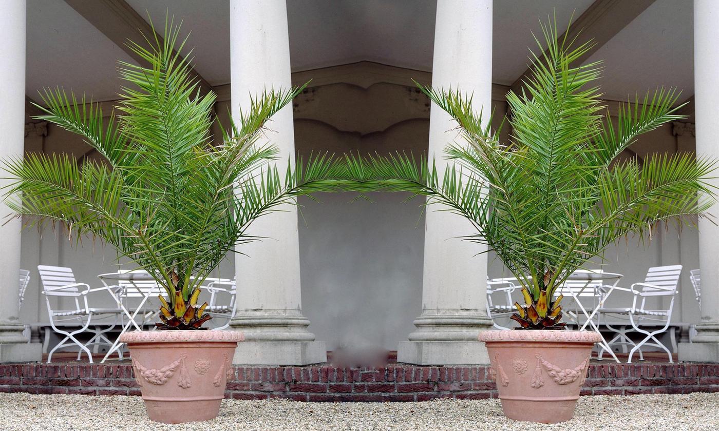 Palmier des Canaries - 120 à 140cm (également disponible 60-70cm)