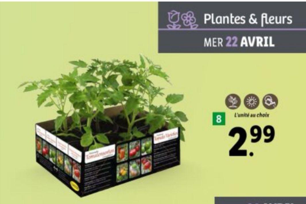 Lot de 6 Plants de Tomates Variété Ancienne