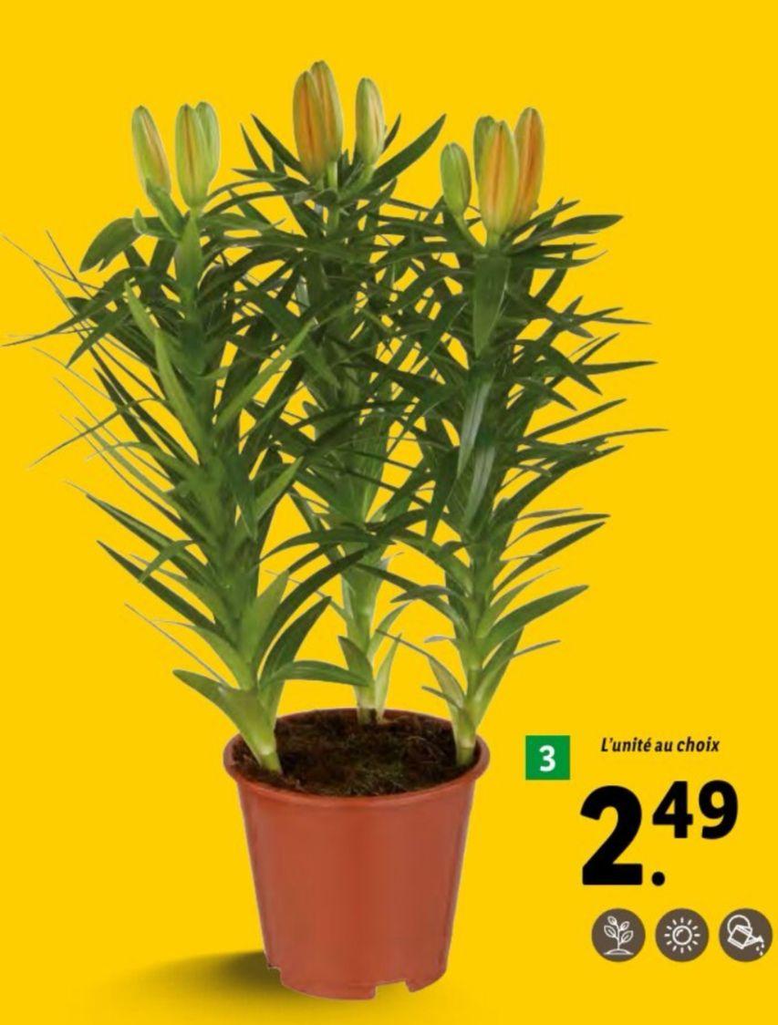 Lys Asiatique en Pot - 35 cm