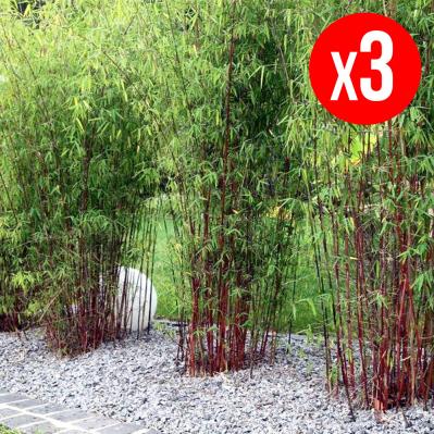 Pack de 3 Bambous Rouges Perfect Plan Deal - 35/50 cm, pot de Ø 15 cm