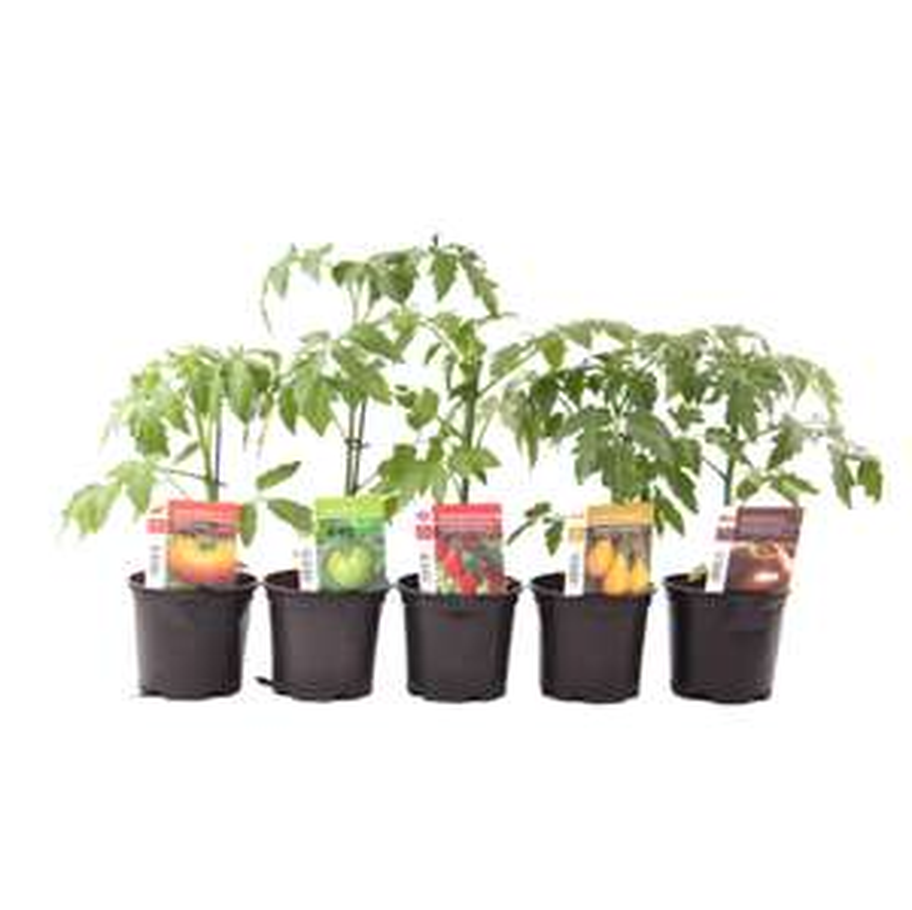 Plant de tomates - Différentes variétés, Pot 10 cm (Côté Nature)