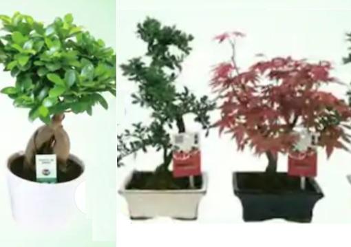 Ficus Ginseng (50 cm) ou Bonsaï différentes variétés avec pot céramique (35 cm)