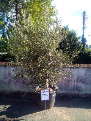 Grand olivier tronc large - (Lamotte-Beuvron 41)