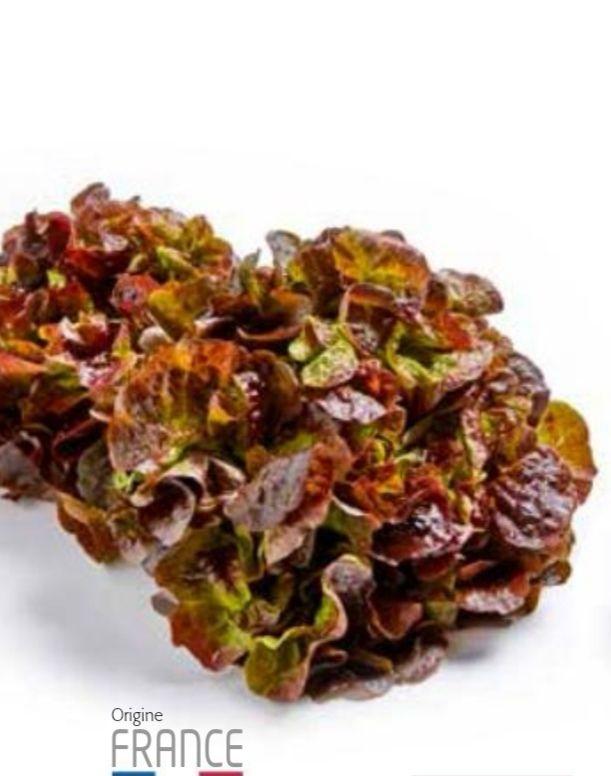 Salade feuille de chêne rouge - origine France, cat. 1