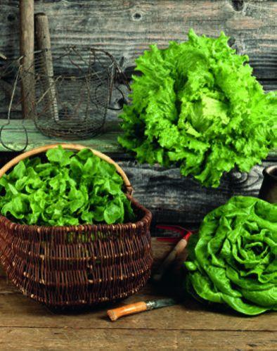 Salade Batavia, Feuille de chêne blonde ou Laitue - Origine France