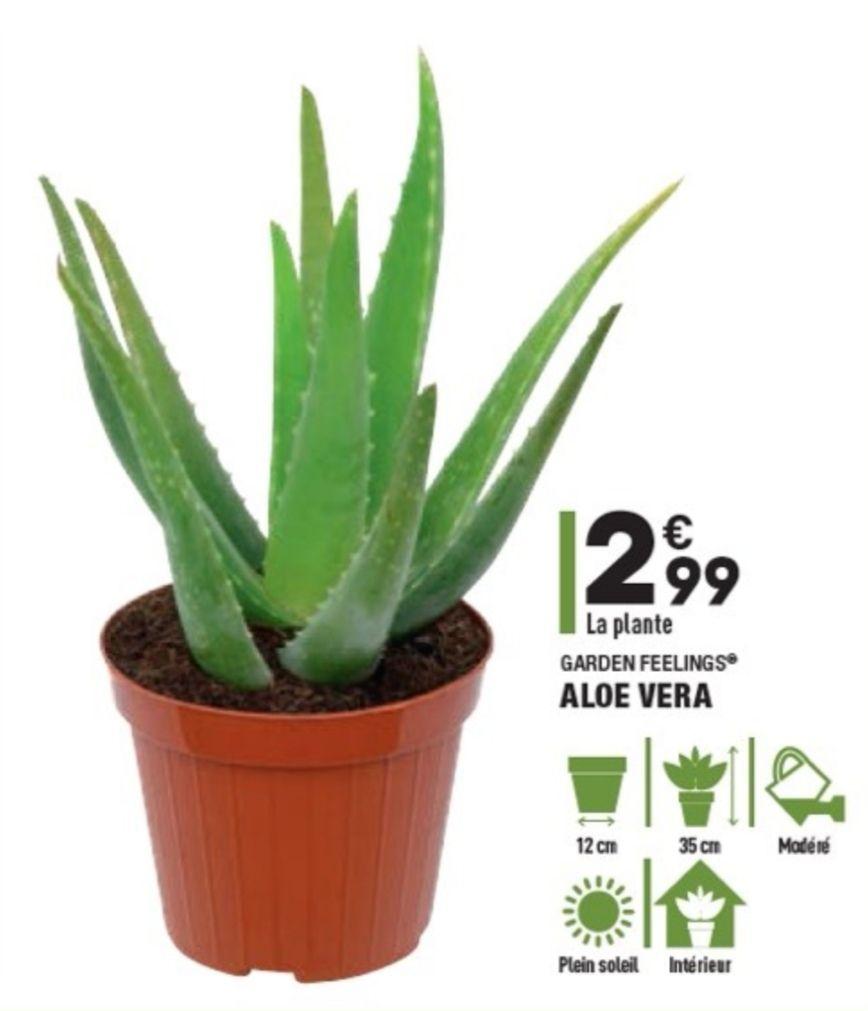 Plante Aloe Vera Garden Feelings - 35cm
