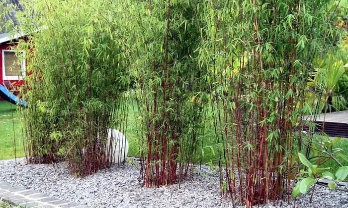 1 ou 2 lots de 3 Bambous Rouges Fargesia