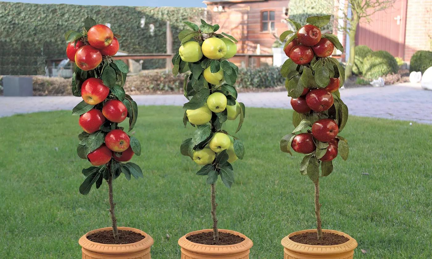 6 Pommiers Colonnaire, pot inclus