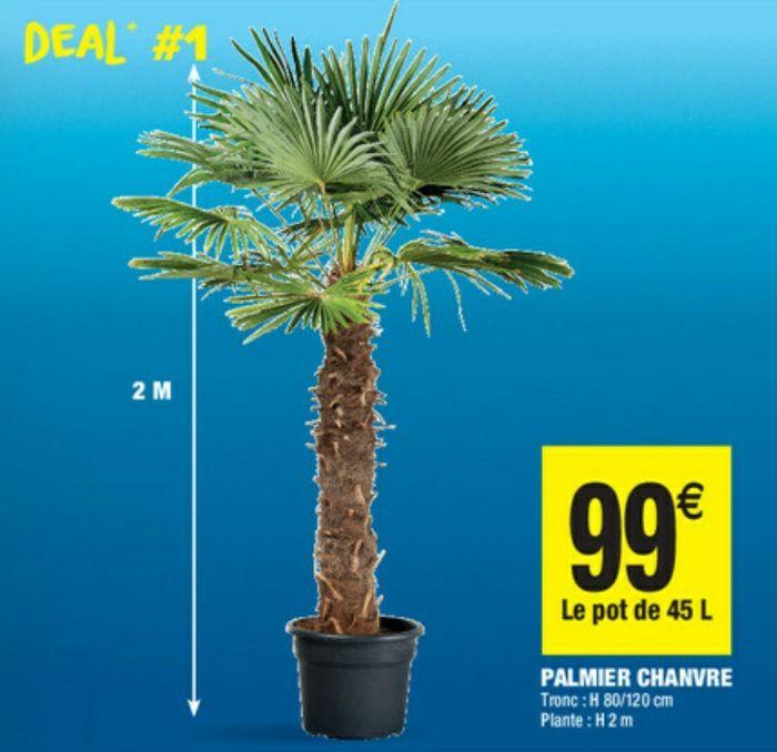 Palmier chanvre - hauteur de 2 m, largeur de 80 à 120 cm, pot de 45 L