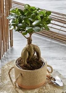 Bonsaï Ficus Ginseng avec pot en céramique
