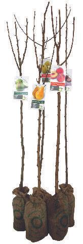 Arbre fruitier Scion - Variété cerisier, pêcher, poirier, pommier, prunier au choix, 130/150 cm