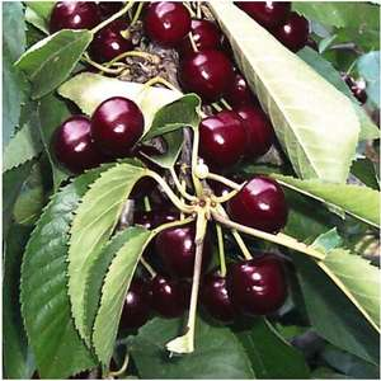 Scions d'arbres fruitiers - Différentes variétés (abricotier, cerisier, pêcher, poirier,...)
