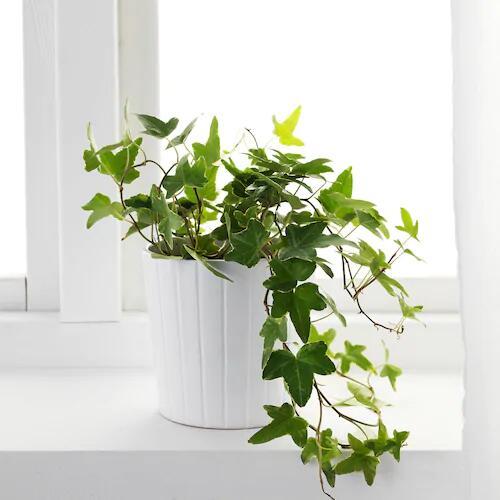 50% de réduction sur les plantes naturelles - Ex: Hedera Helix 13 cm