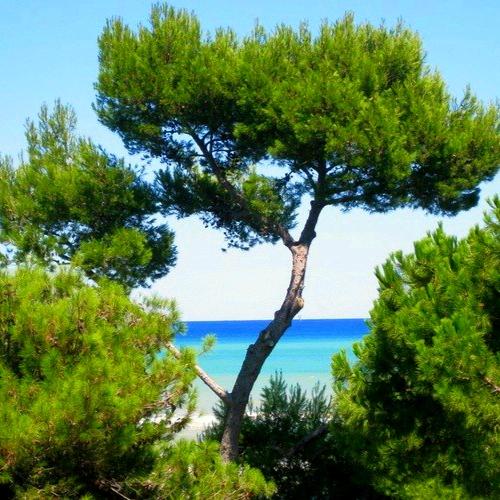 Distribution gratuite de pins maritimes - Lège-Cap-Ferret (33)