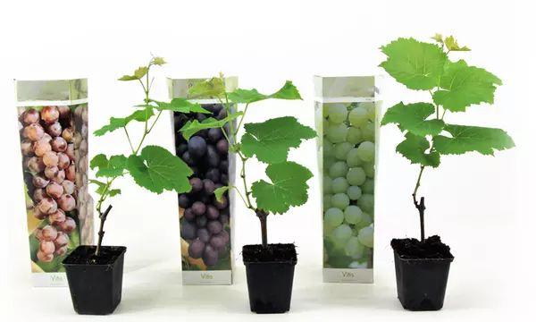 Lot de 6 pieds de vigne