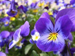 Distribution Gratuite de Fleurs : Pavots d'Islande, pensées, primevères - Carignan de Bordeaux (33)