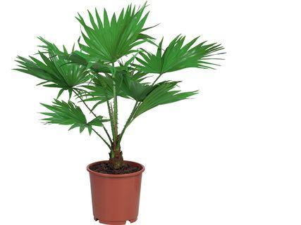 Mini palmier d'intérieur (hauteur 45 cm)