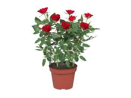 Rosier en pot (27 cm) à 2.29€ ou lot de 2 à 4.12€