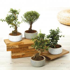 Plante bonsaï - hauteur env. 30/35 cm