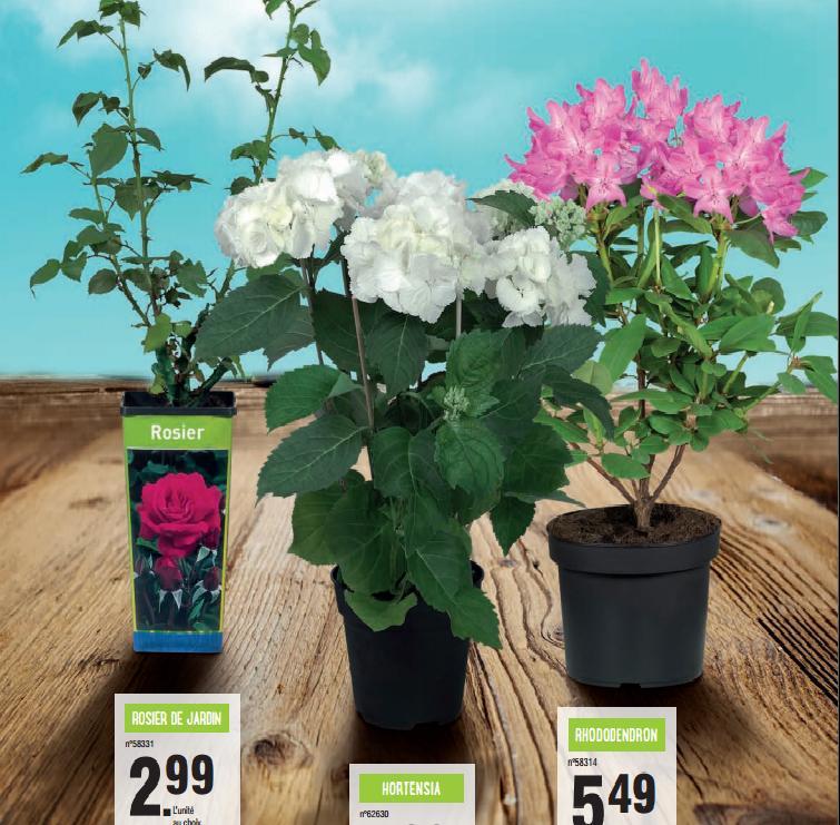 Rosiers de jardin (40 cm min.) - variétés au choix