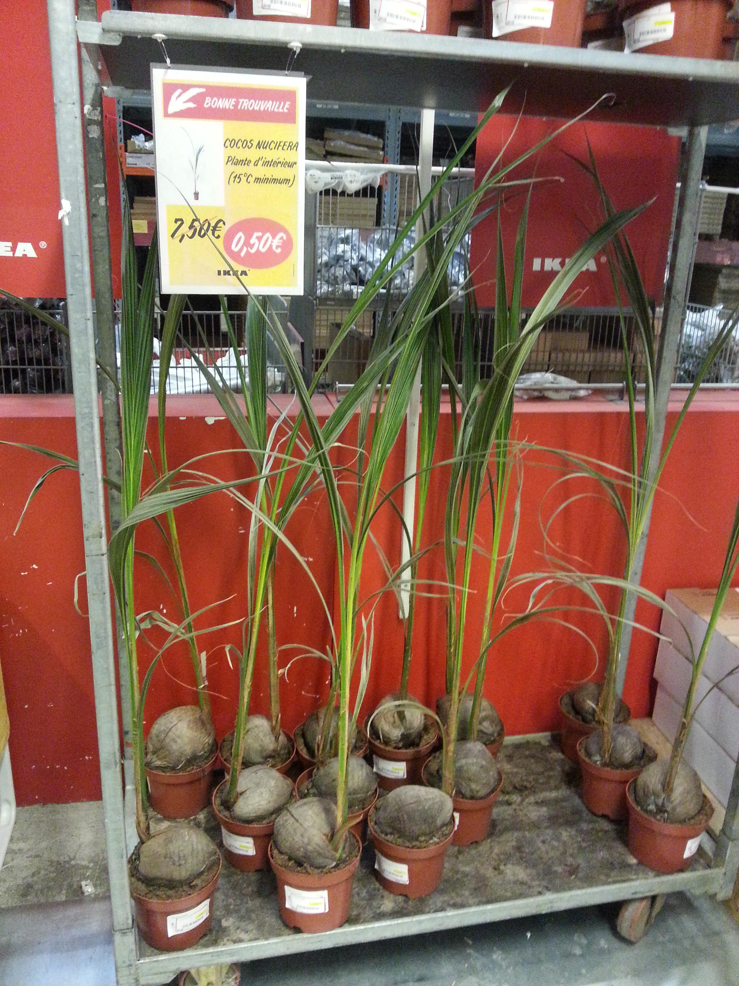 Plante en pot Cocos nucifera