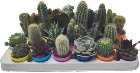 Mini Cactus et succulentes - Variétés au choix, pot 5.5cm