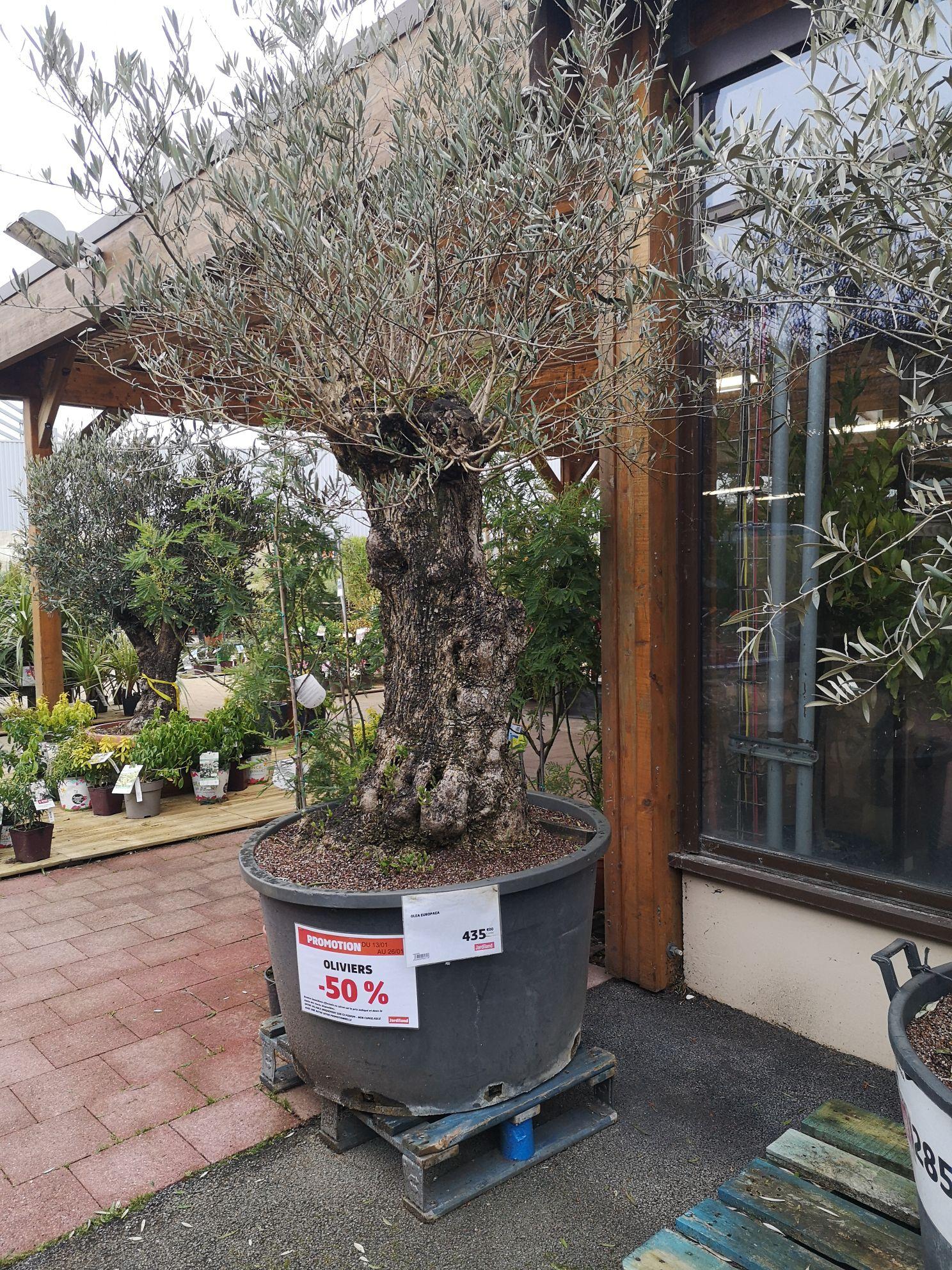 50% de réduction sur les oliviers -- La Roche Sur Yon (85)