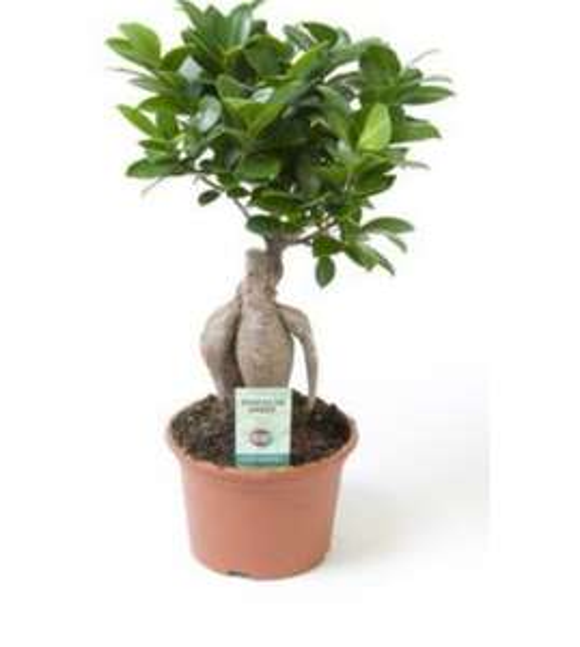Bonsaï Ficus Ginseng en Pot (hauteur 35 cm)