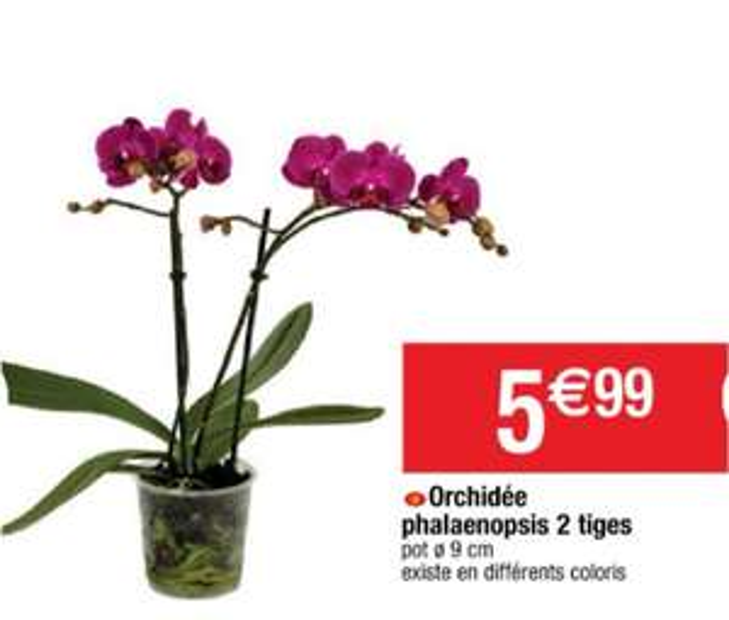 Orchidée phalaenopsis 2 tiges - Différents coloris