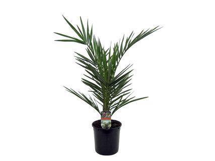 Palmier (Variétés au choix) - 55cm