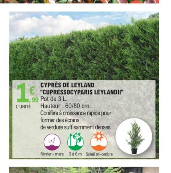 Cyprès de Leyland en pot de 3 litres (60-80 cm)