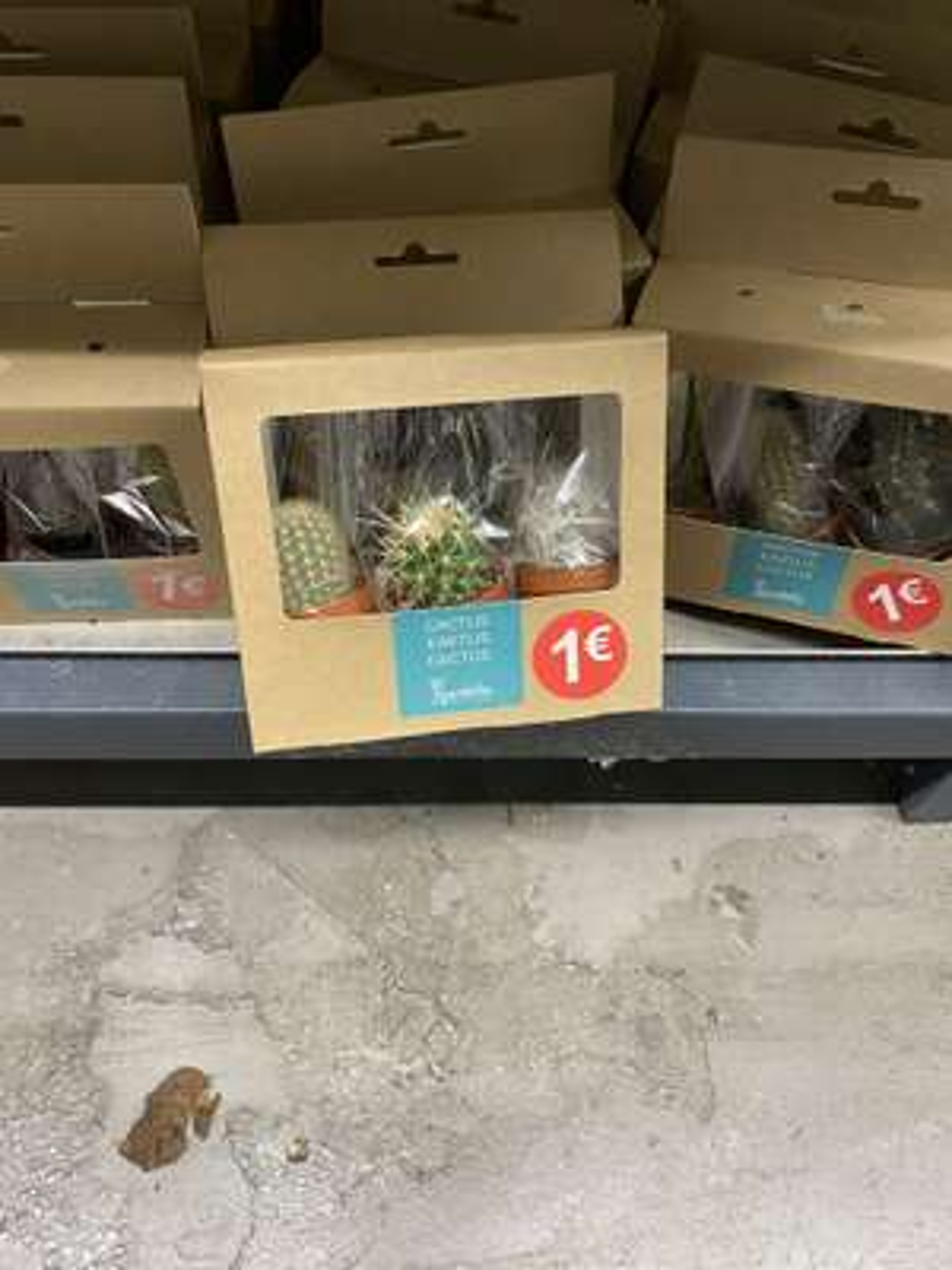 Lot de 3 Mini Cactus en pot Gardelly Holland - Olivet (45)