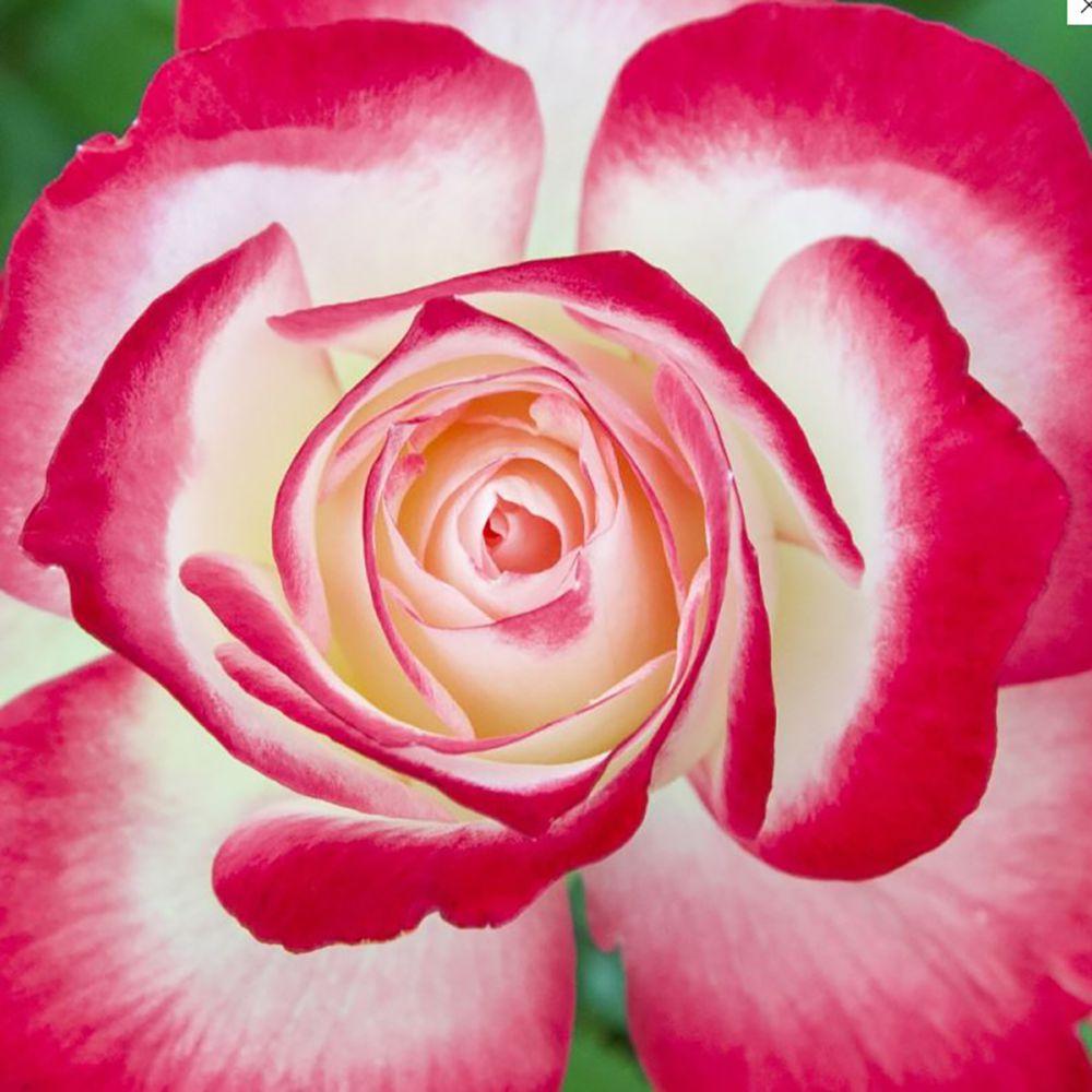 20% de réduction sur une sélection de plantes - Ex: Lot de 3 PYRÈTHRE ROSE ROBINSON'S