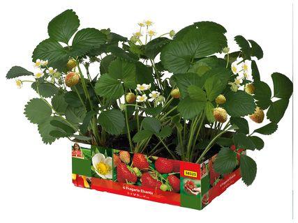 Lot de 2 barquettes de 6 plants de fraisiers - différentes variétés, 15 cm