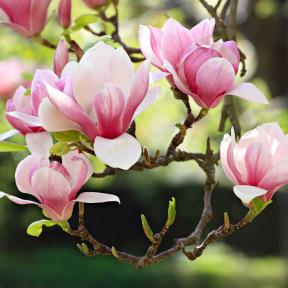 Arbuste à fleurs destiné à la plantation (Buddleja, Cotoneaster, Magnolia...)