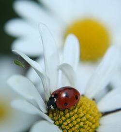 Larves de coccinelles gratuites + formation pour éviter les pesticides