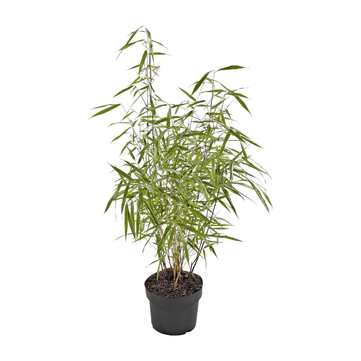 Bambou non traçant Fargesia