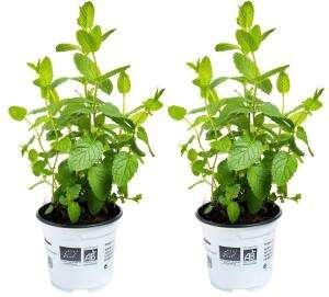 Lot de 2 Herbes Bio aromatiques en pot - Menthe, Coriandre, Persil, Basilic (Origine France)