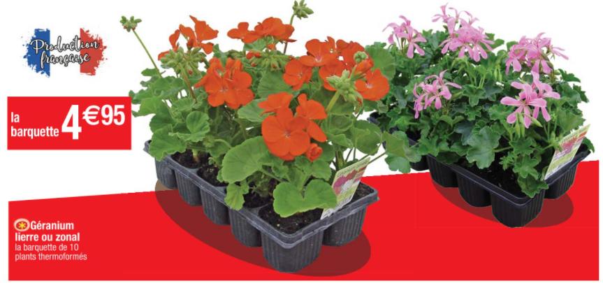 Barquette de 10 plants Géranium lierre ou zonal - production française