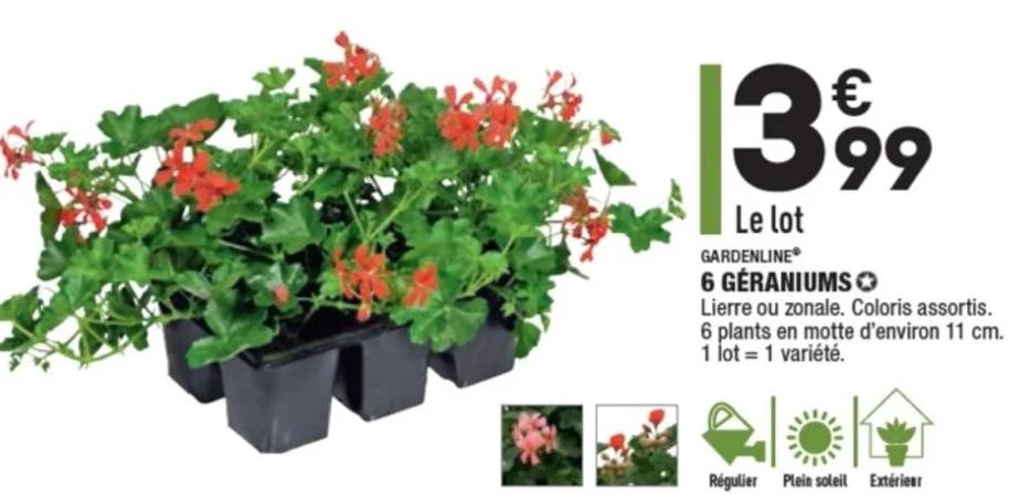 Barquette de 6 plants de Géraniums lierre ou zonale