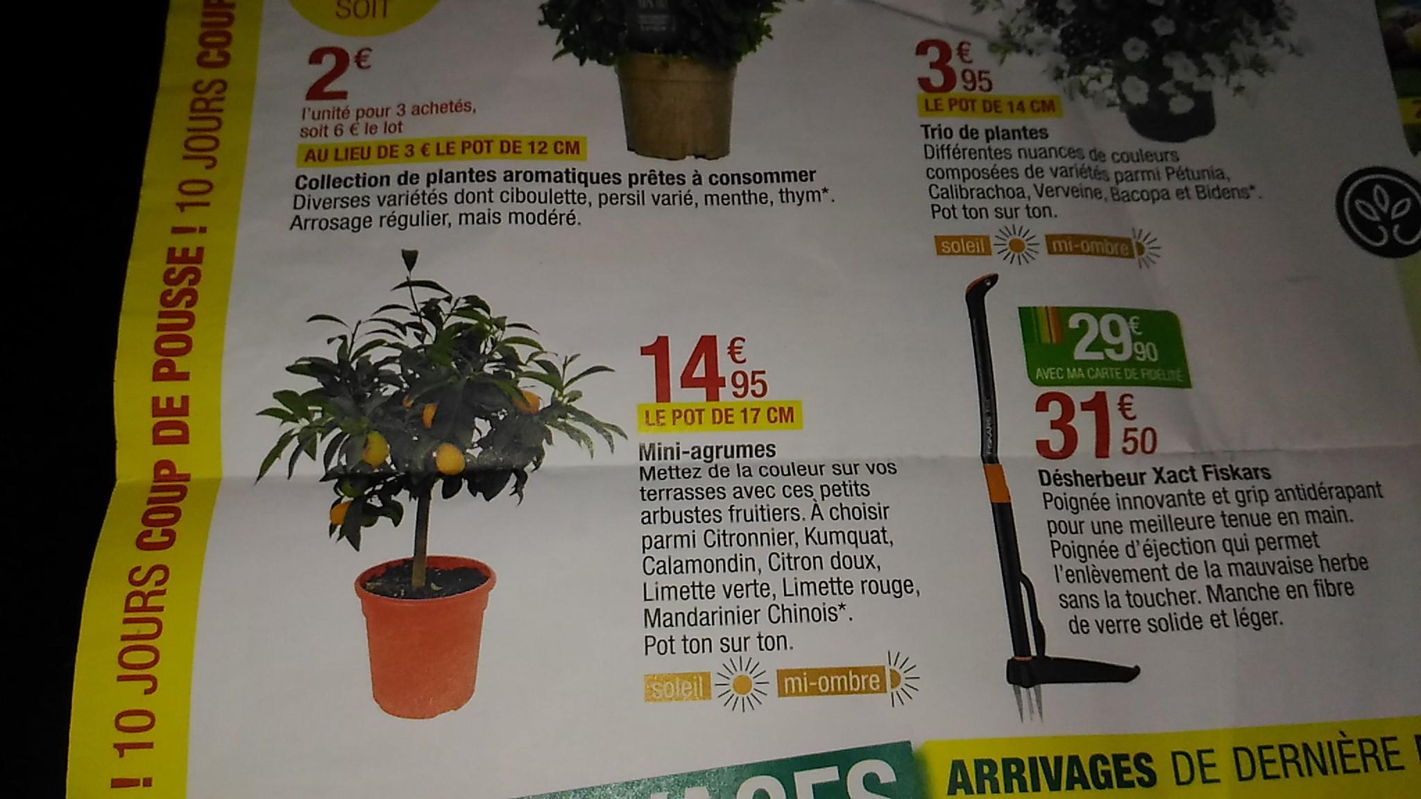 Mini-agrumes - Pot de 17 cm (Citronnier, Oranger, Limette, Mandarinier, ...)