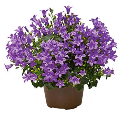 Sélection de Fleurs et de Plantes - Ex : Lot de 2 Campanule Get Mee