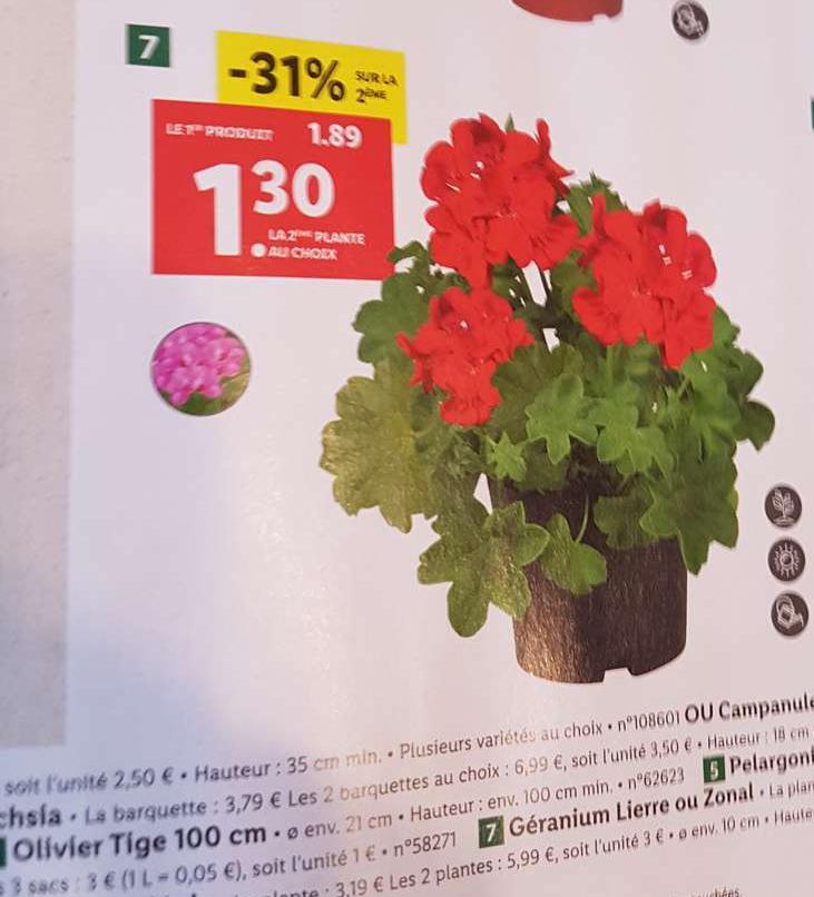 Lot de 2 Géraniums Lierre ou Zonal