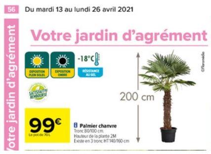Palmier chanvre - 200 cm, tronc 80/100 cm