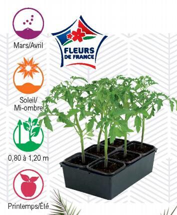 Barquette de 6 plants de tomates - différentes variétés